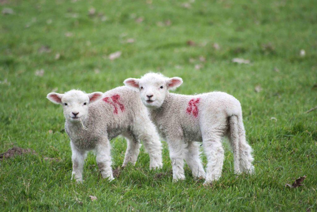 white baby lambs on green grass on world vegan day